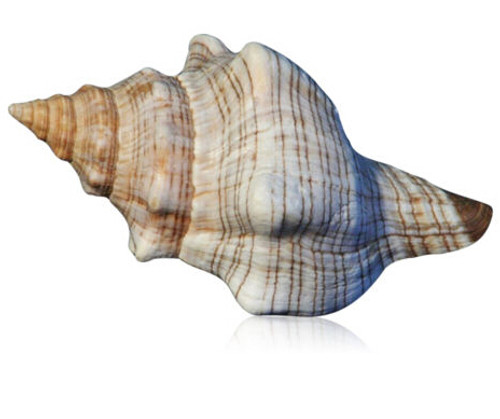 "Striped Fox Conch Seashell 5""-6"" Free Shipping"