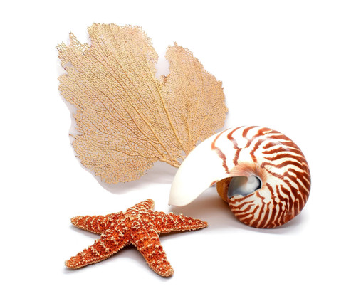 Half Nautilus Shell, Sugar Starfish and Sea Fan Grouping