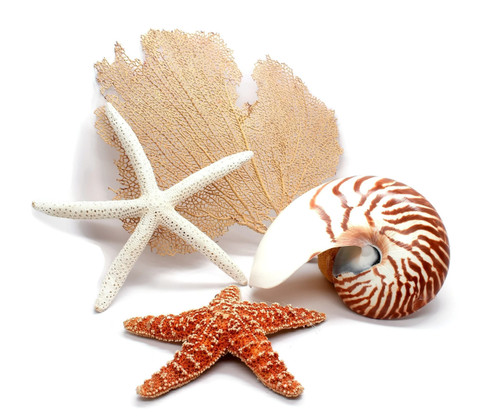 Half Nautilus Shell, Starfish and Sea Fan Grouping