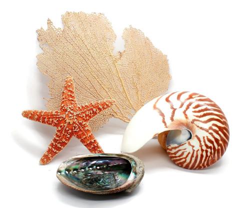 Half Nautilus Shell, Starfish, Abalone and Sea Fan Grouping Free Shipping