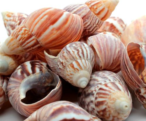 Japanese Land Snail Shells for Beach Crafts (Qty 50) Bulk Shells