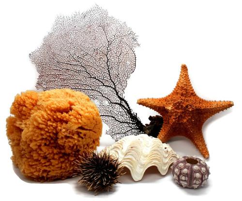 Sea fan, Starfish, Sea Sponge ,Sea urchin, Seashell Grouping