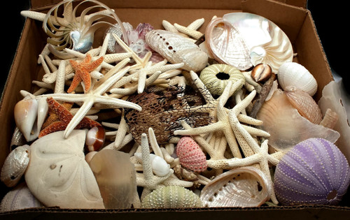 Bulk Box Damaged starfish,shells,urchins,sea fans and much more!