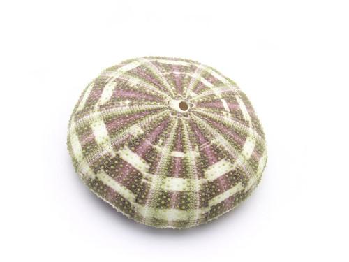 "Alfonso (Gator) Sea Urchin (3 pcs) Toxopneustes Pileolus 3-4"""