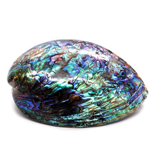 "Polished Paua Abalone from New Zealand 4-5"" A1"