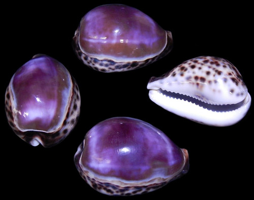 4 Purple Top Tiger Cowrie Shell Beach Crafts, Free Shipping