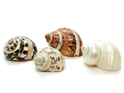 4 Assorted Polished Turbo Hermit Crab Shells - Free Shipping