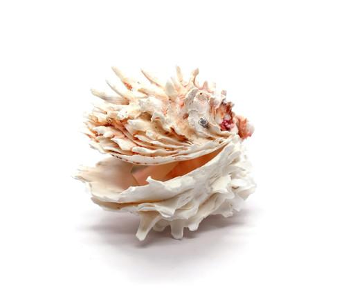 Rare Chylma Lazarius Seashell (Jewel Box) Free Shipping