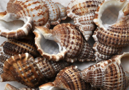 20 Granulate Frog Seashells - Bursa Granularis, Craft shells