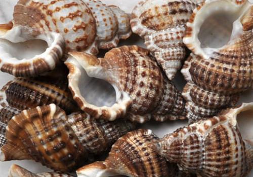 20 Granulate Frog Seashells - Bursa Granularis, Craft shells