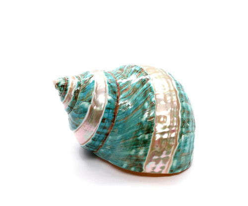 "Large Polished Banded Jade Turbo Seashell 3.5"" - 4"""