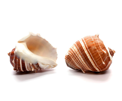 "Melongina Shell - Melon Conch 2.5""-3"" Priced Each"