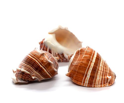 """Melongina Shell - Melon Conch 2.5""""-3"""""""