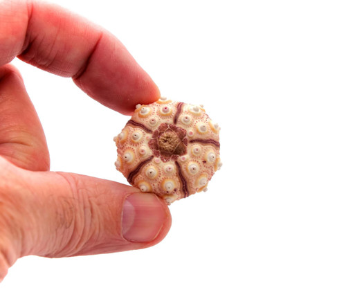 Sputnik Thai Sea Urchin (Case Pack 3) Craft Supply