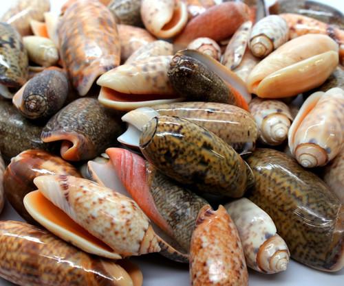 Gold Olive Shells Seashells Polished (Qty 50) Craft Shells