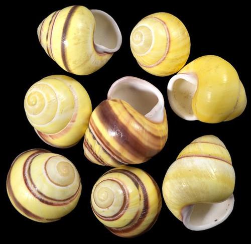 Yellow Land Snail Shells (Qty 1) Craft Shells