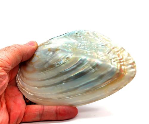 Polished Cebu Clam Shells