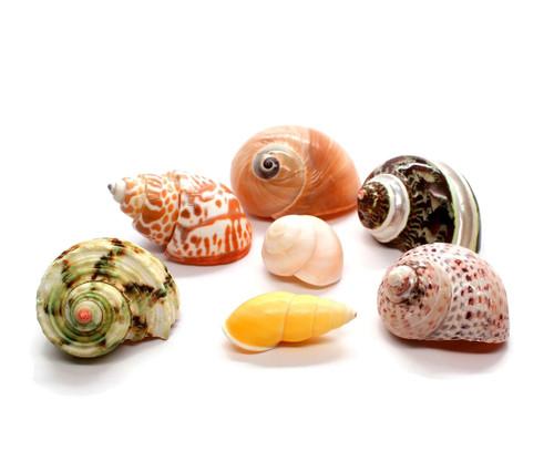 XL Assorted Turbo Hermit Crab Shells