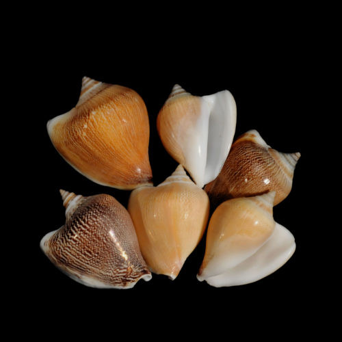 10 Dog Conch Shells Natural Strombus Canarium 2""
