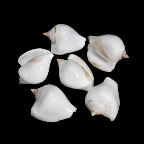 "10 White Dog Conch Shells Natural Strombus Canarium 2"""