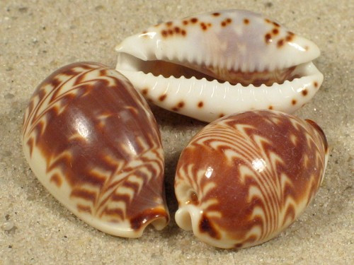 Cypraea Diluculum Small Cowrie Craft shells Qty 50