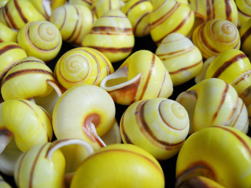 1 Striped Land Snail Shells, Great Craft shells
