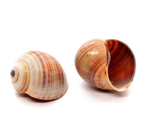 """Land Snail Shells 2 -2.5"""" Hermit Crab (Qty 2)"""