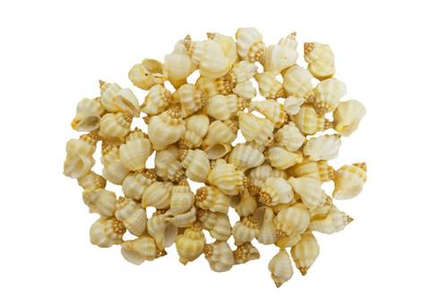 Cancellaria Undulata Seashells- 1 lb BuytheSea