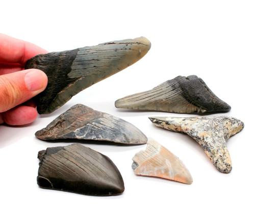 Rare Prehistoric Megalodon Fossilized Tooth Shards 10 oz