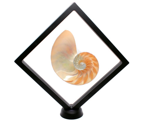 Floating Frame Display Case with Nautilus Half Shell