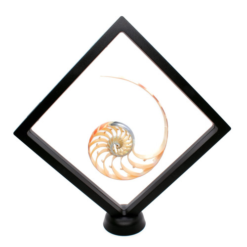 Floating Frame Display Case with Nautilus Half Center Cut Shell