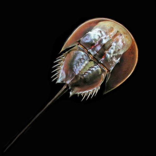 """Horseshoe Crab TACHYPLEUS TRIDENTALUS 5""""-6"""""""