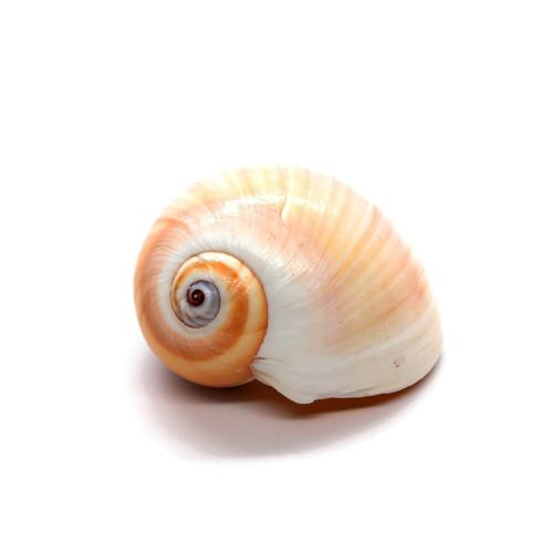 Shark Eyes Moon Shells Seashells