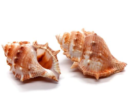 Bursa Rana Shell