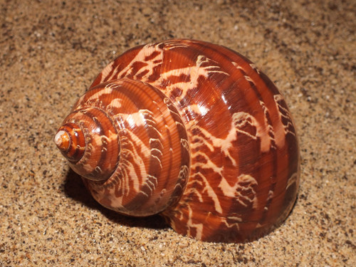 Turbo Petholatus Natural -Snakeskin Turbo Great for hermit crabs