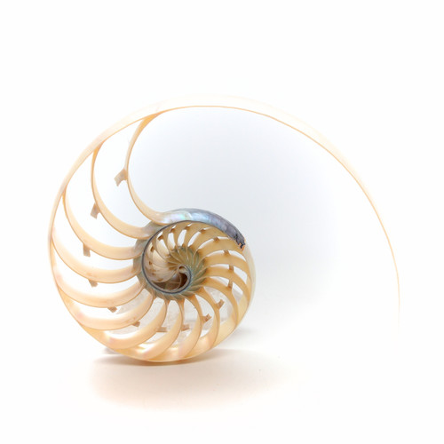 "Pearl Nautilus Shell Center Cut 4""-5"""