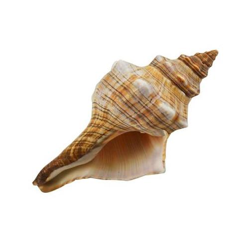 "Fox Conch (Fasciolaria Trapezium) - 4""-5"" Priced Each"
