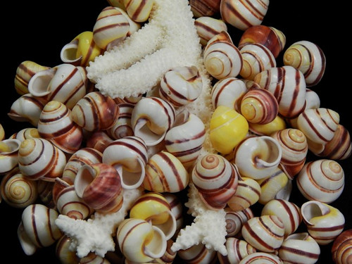 Striped Land Snail Shells Qty 50 Free shipping