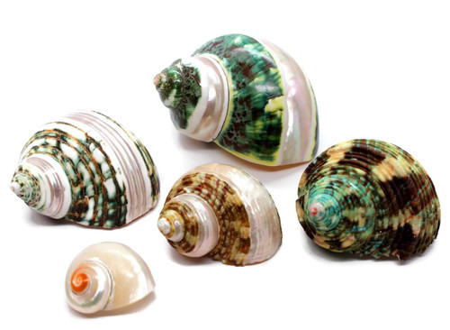 "5 Quality Assorted Hermit Crab Changing Shell Set - Sized 1""-2.5"""