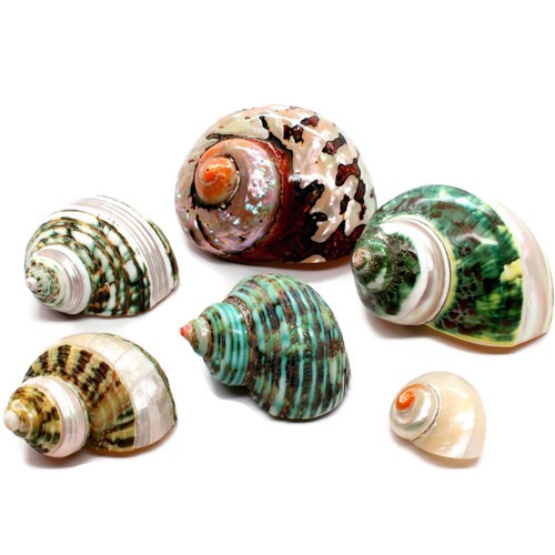 """6 Quality Assorted Hermit Crab Changing Shell Set - Sized 1""""-3"""""""