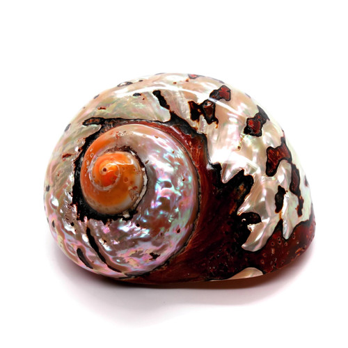 African Turbo Shell Highly Polished Silver Tones Seashell