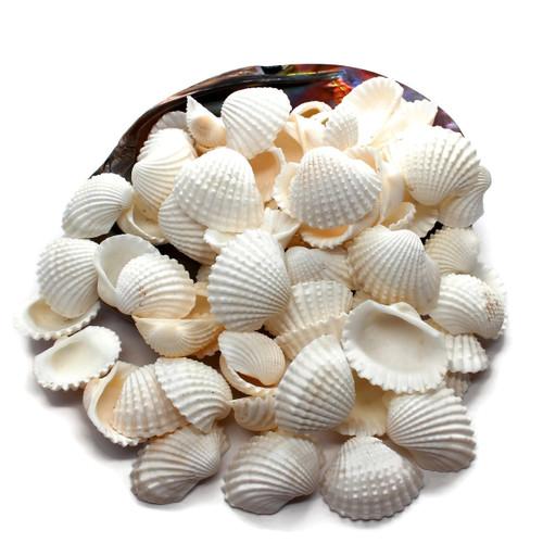 White Ark Shells (25) great for Beach Wedding, Craft Seashells