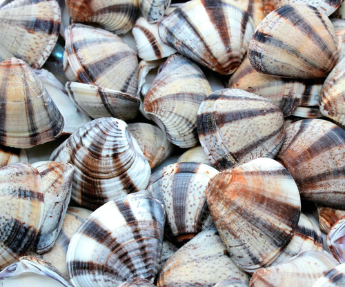 Mexican Sunset Striped Clam