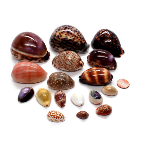 Assorted Collector Cypraea Cowrie Shells, Collection of (17 species)