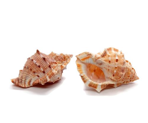 25 Bursa Rana Shell 2 to 3 inches, BuytheSeaOnline