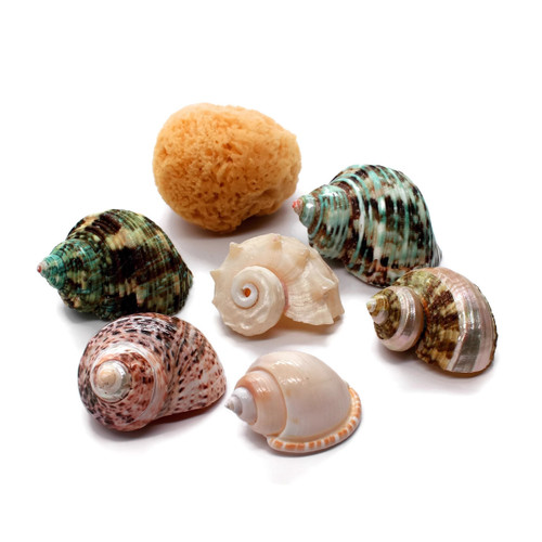 Assorted Turbo Hermit Crab Shells Lot with natural Sponge