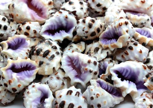 "12 Purple Drupa Morum Shells 3/4-1 1/4"" Small Beach Crafts"