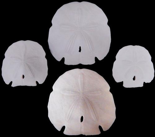 10 White Arrowhead Sand Dollars Beach Wedding Craft