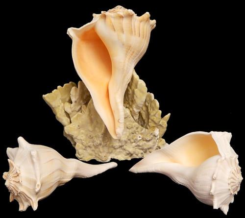 Florida Gulf Lightning Whelk Shells all sizes