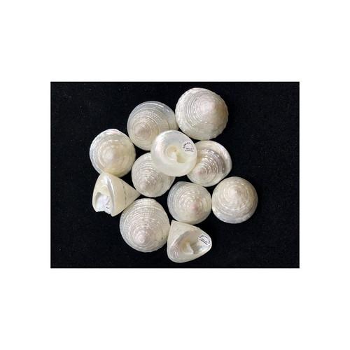 """Pearl Trochus Stellatus 1.25""""-2"""" Qty 6"""